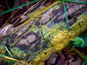 The slime mold Physarum polycephalum develops a network of interconnected tubes as it explores the environment for food. (Photo credit: Frankenstoen/CC BY)