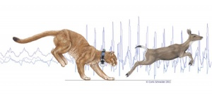 In the background of this illustration are typical SMART collar accelerometer traces for walking and then running, while the foreground shows a collared puma chasing a black-tailed deer. (Image by Corlis Schneider)