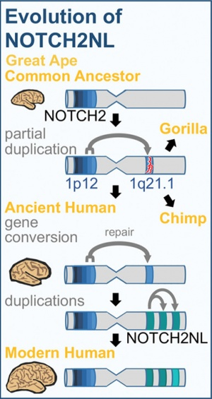 As shown in this diagram, the NOTCH2NL genes arose through a duplication event in a common ancestor of humans, chimpanzees, and gorillas, but only became functional genes in the human lineage. (Image courtesy of Sofie Salama)