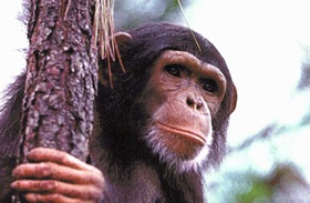 Chimpanzee genome debuts on the UCSC Genome Browser and BLAT servers