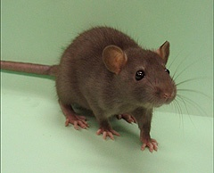 Analysis of rat genome holds clues to mammalian evolution