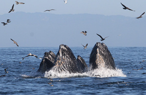 Foraging humpback whales lunge feeding on anchovy in Monterey Bay. Ecosystem changes caused by ocean warming can lead to greater overlap between feeding whales and crab fishing gear, increasing the risk of entanglements. (Photo by John Calambokidis, Cascadia Research Collective)